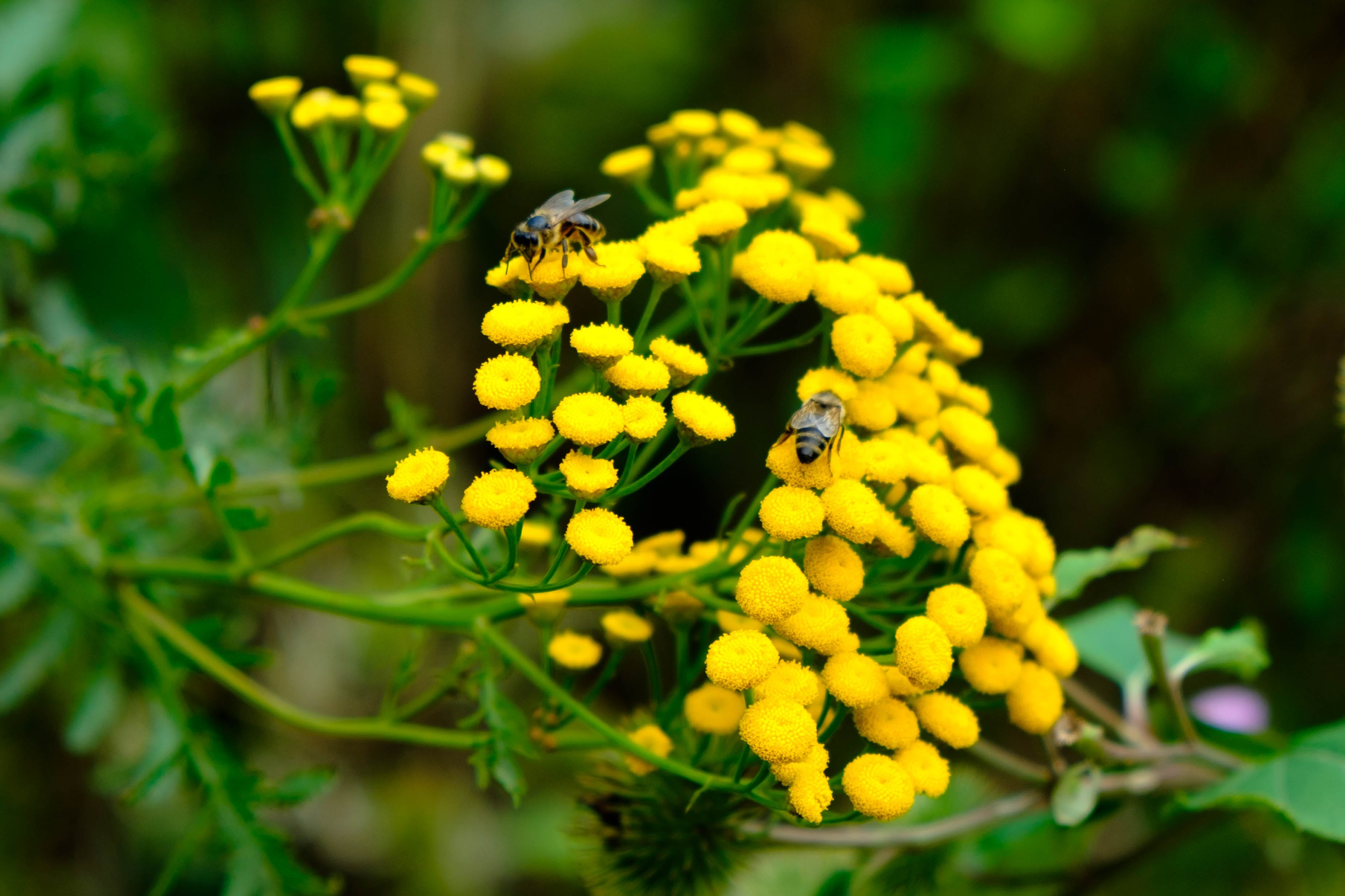 Free stock photo of beautiful flowers, bee, green, insect