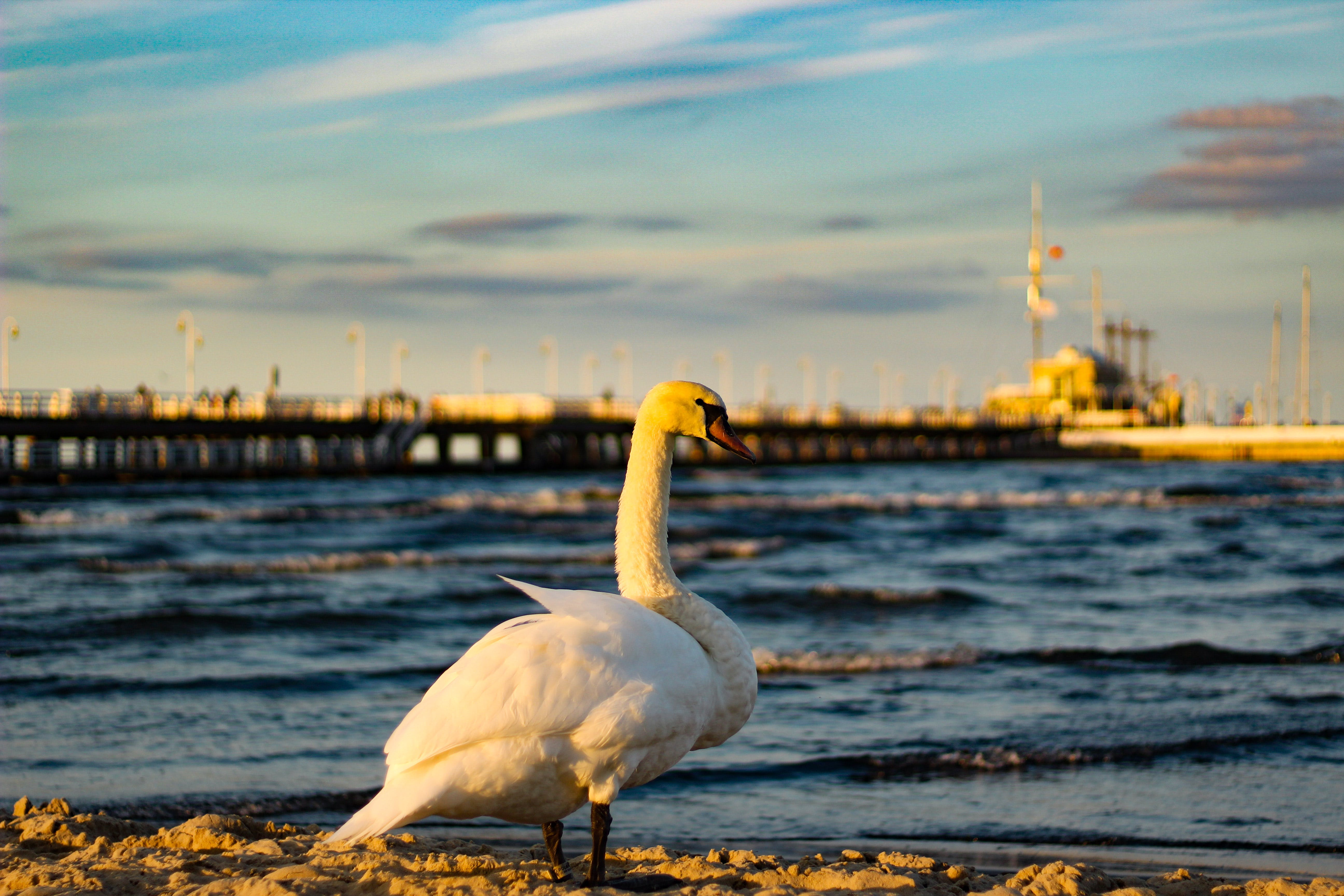 Selective Focus Photo of White Duck in Front of Sea
