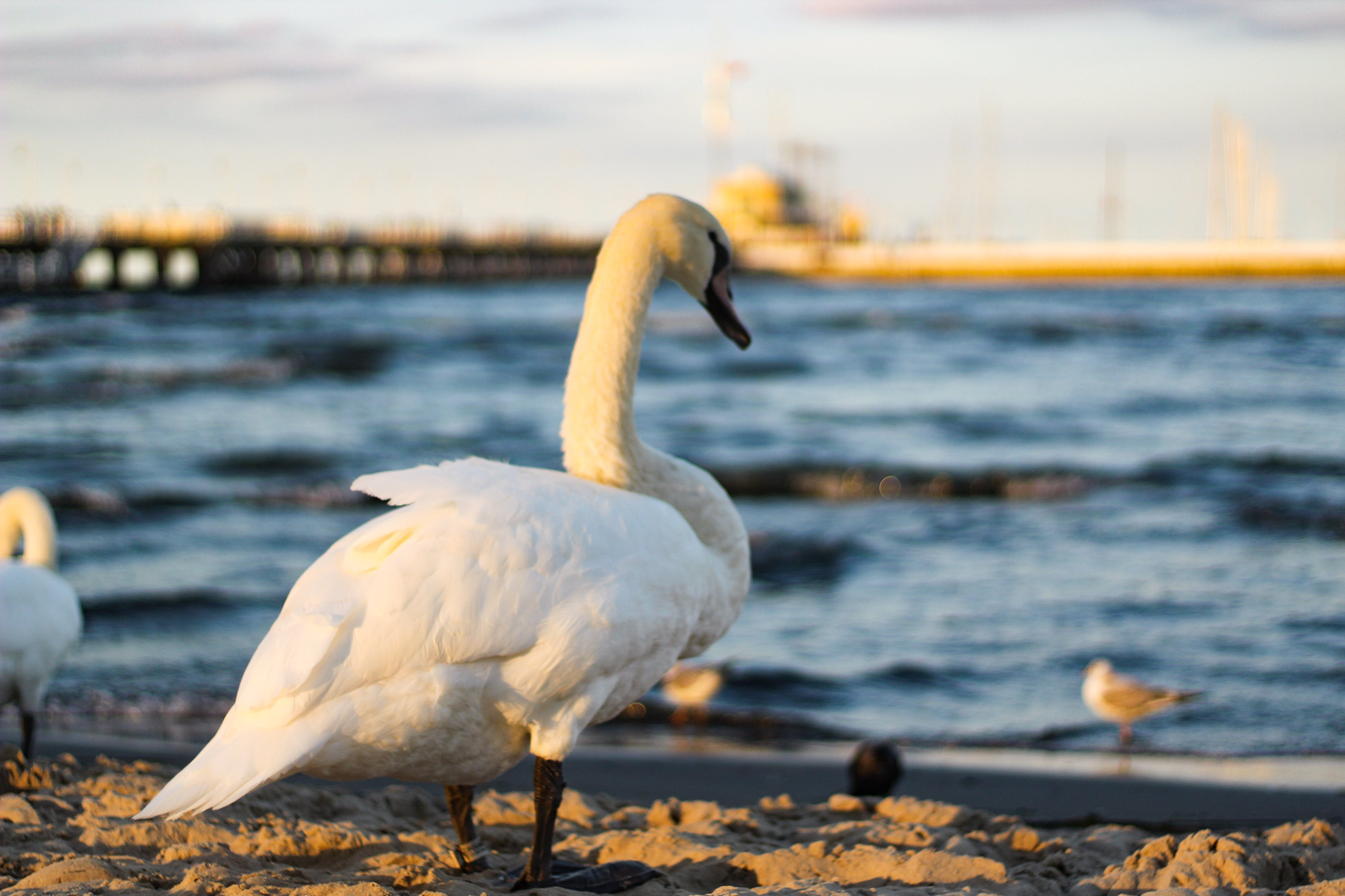 Swan Standing On Sand