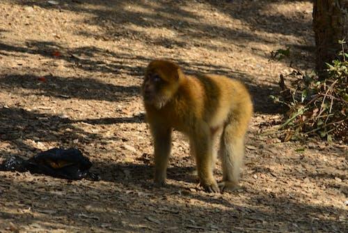 Бесплатное стоковое фото с обезьяна