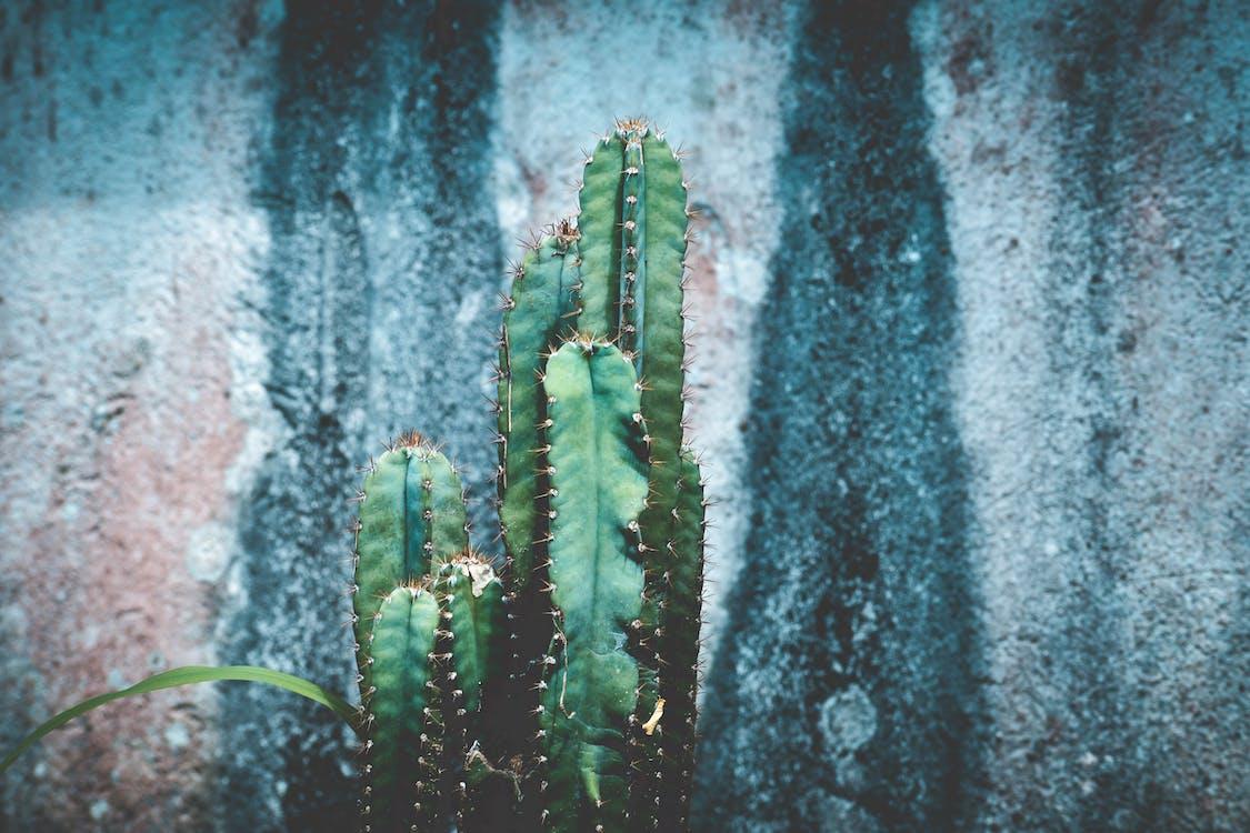 afilat, amb punxes, cactus
