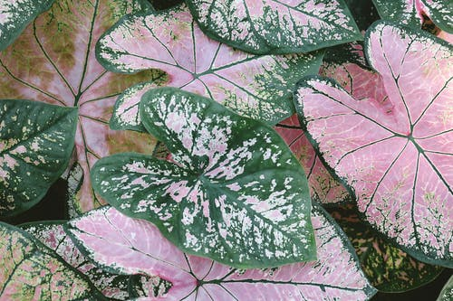 Close-up Photo of Pink and Green Caladium Plants