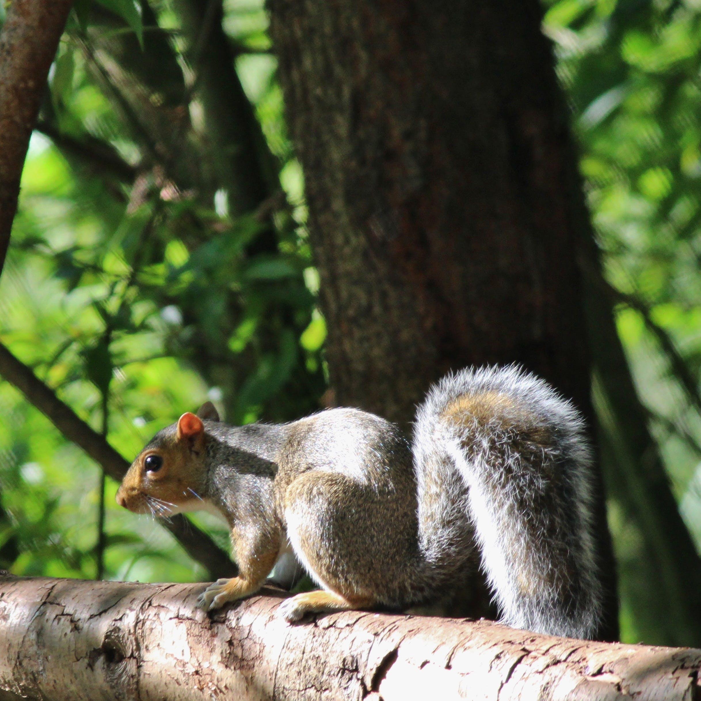 Free stock photo of #squirrel #greysquirrel #trees #wildlife