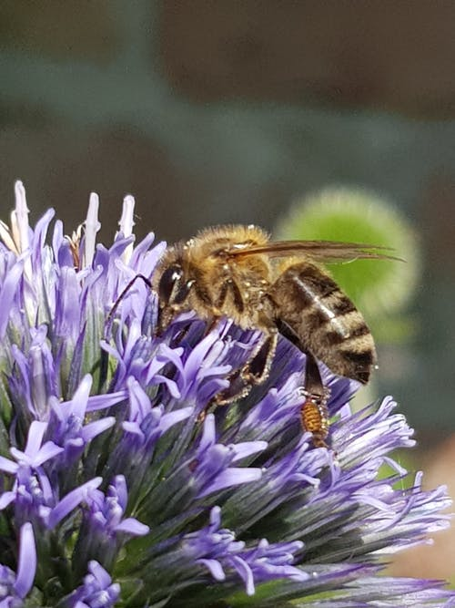 Foto d'estoc gratuïta de abella, flor