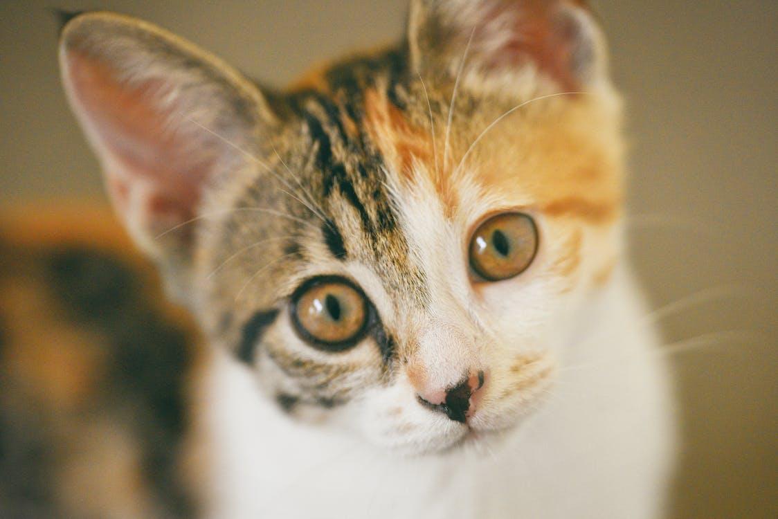глаза, домашнее животное, домашняя кошка
