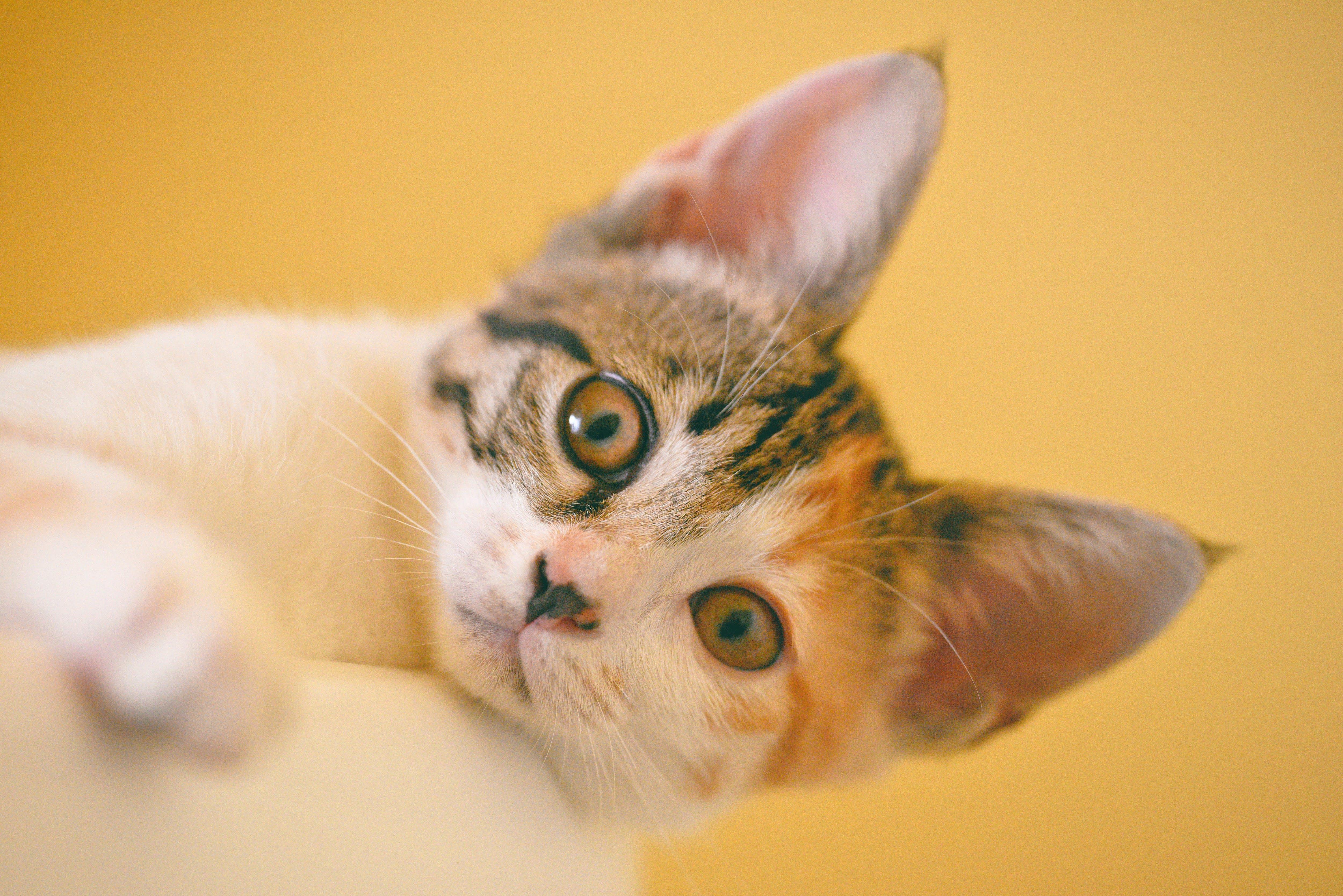 Focus Photo of Short-fur White, Black, and Orange Cat