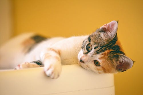 Calico Kitten Lying on the White Wooden Surface