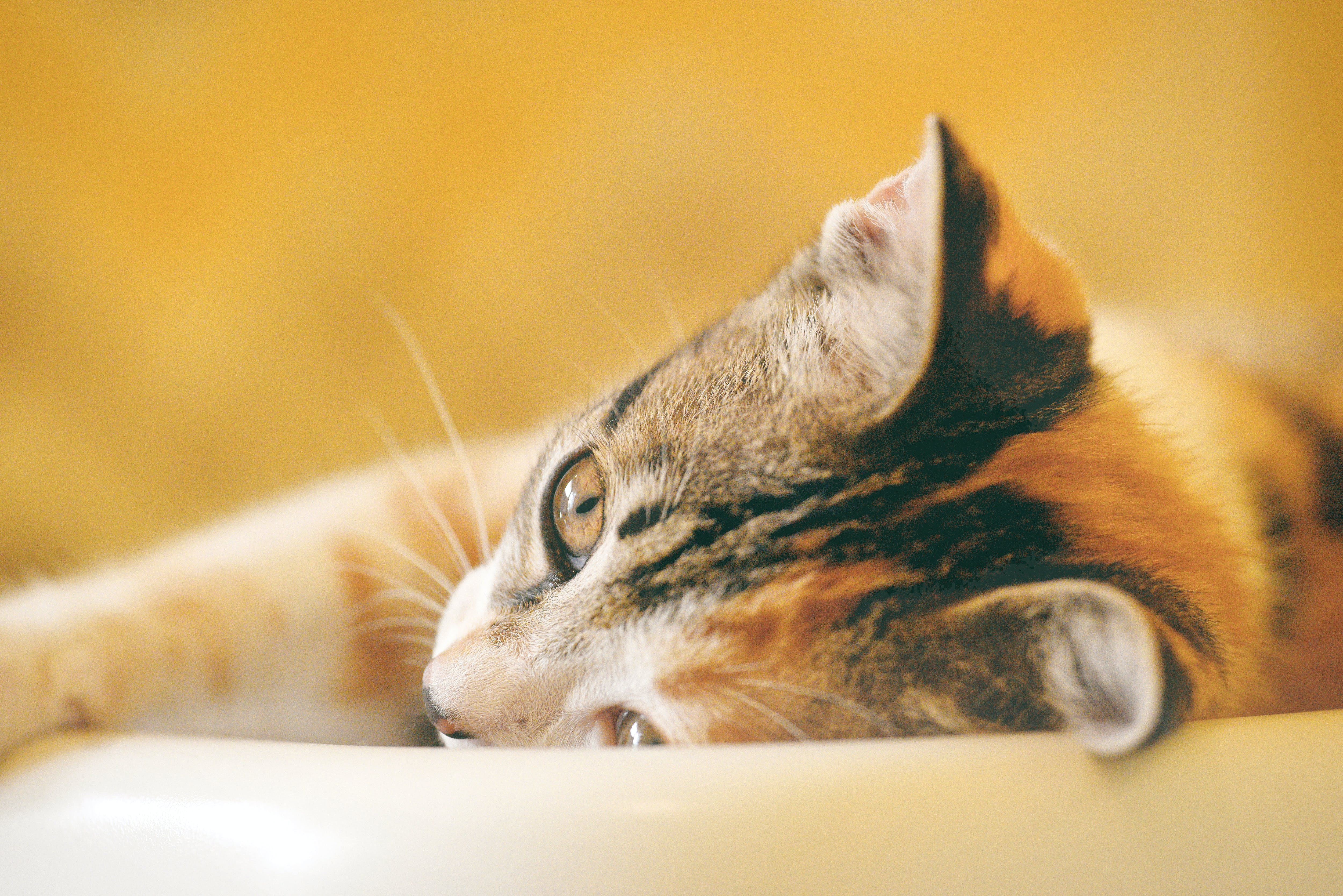 Shallow Focus Photography of Calico Cat