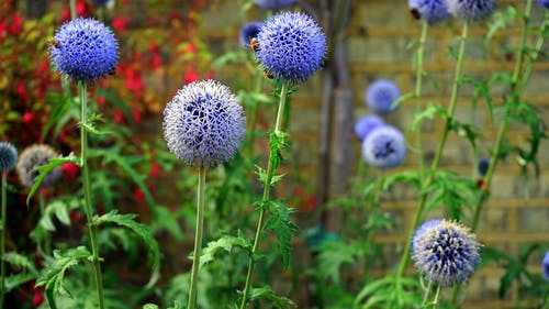 Selective Focus Photography of Blue Globe Thistle Flowers in Bloom