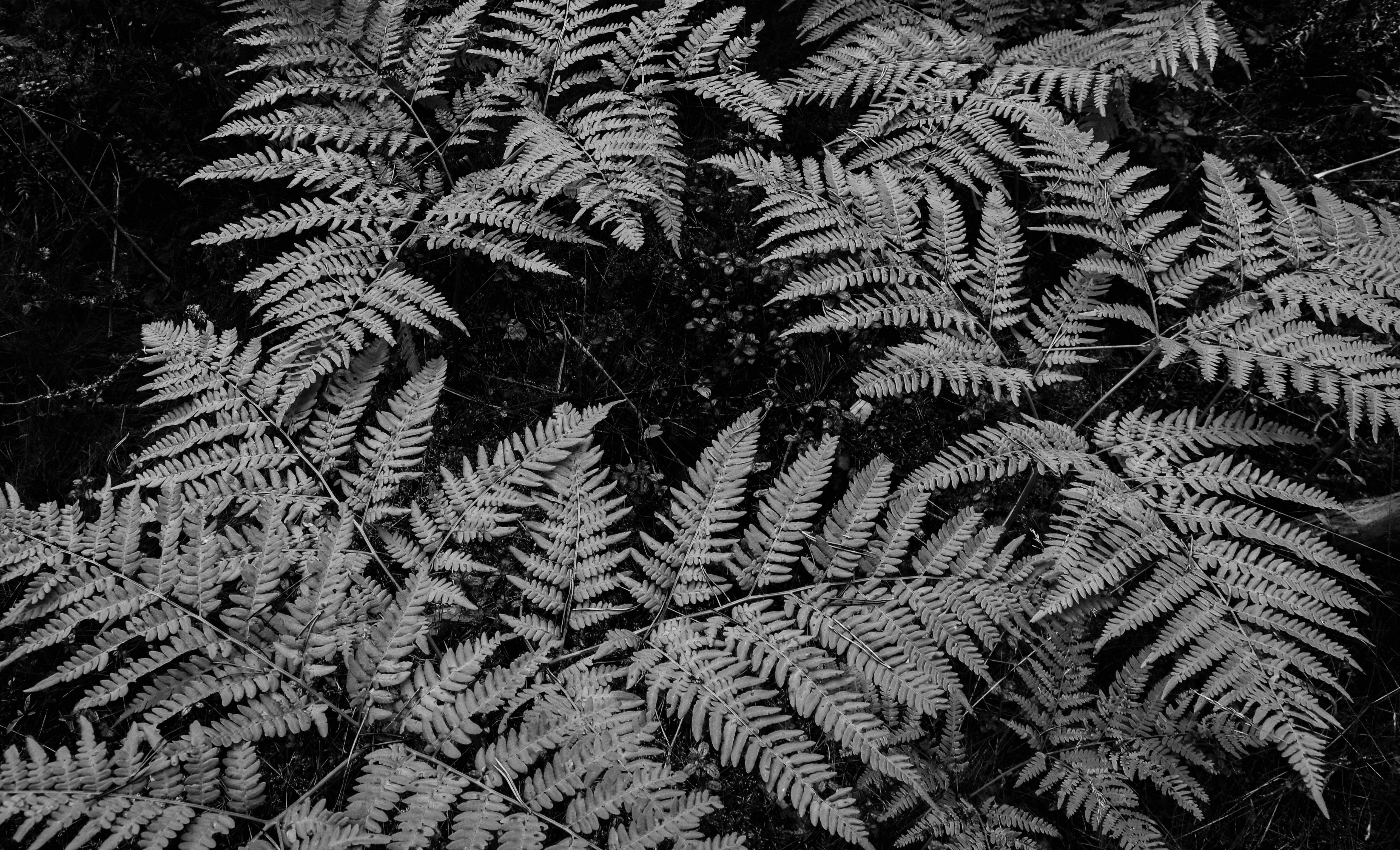 Grayscale Photo Of Fern Plants