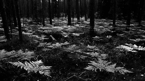Grayscale Photo Of Fern Plants Surrounded By Trees