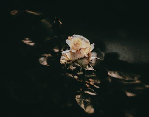 Бесплатное стоковое фото с завод, лепестки, роза, флора