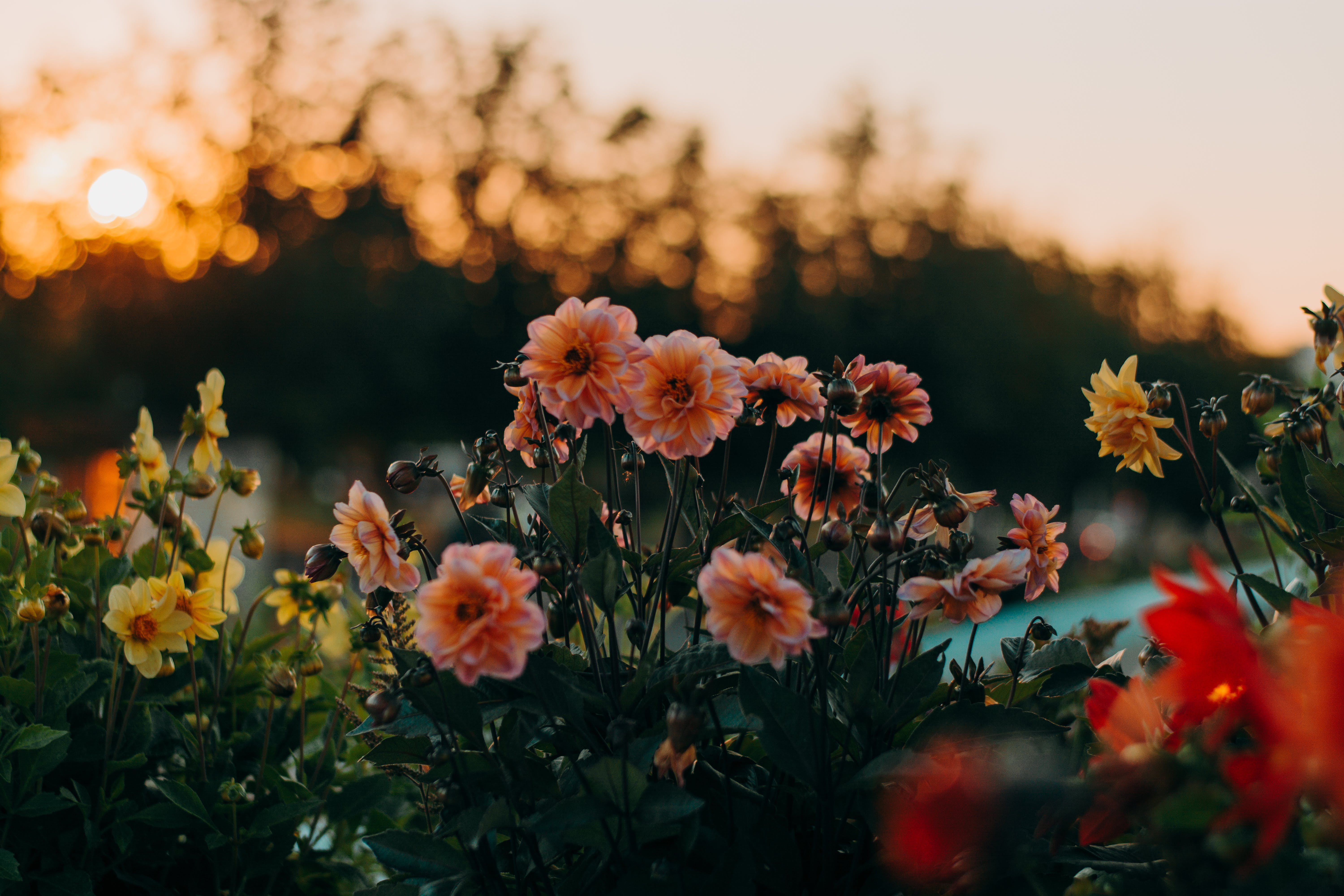 Photo of Pink and Yellow Flowers at Sunset
