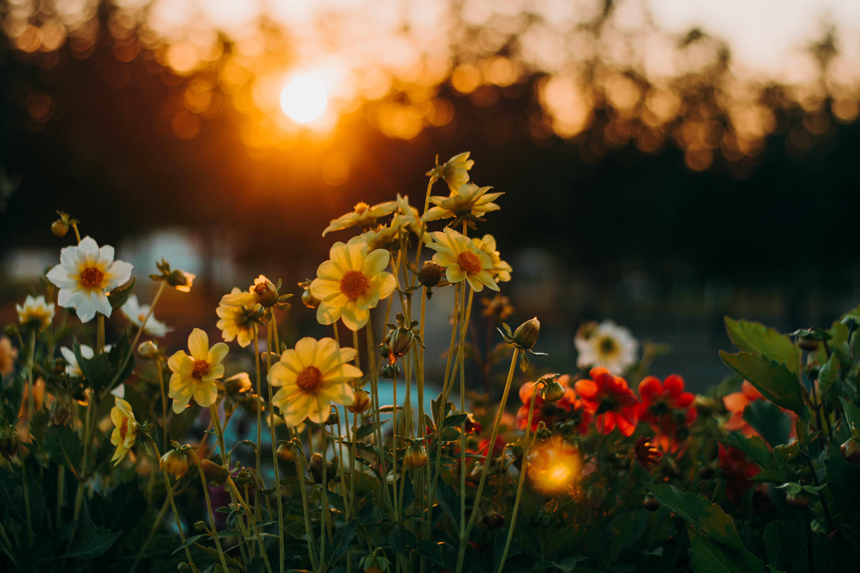 Kostnadsfri bild av blommor, flora, gryning, gyllene timmen