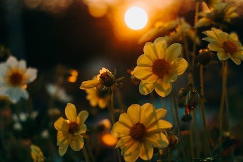 Ảnh lưu trữ miễn phí về cánh hoa, giờ vàng, hệ thực vật, hoa