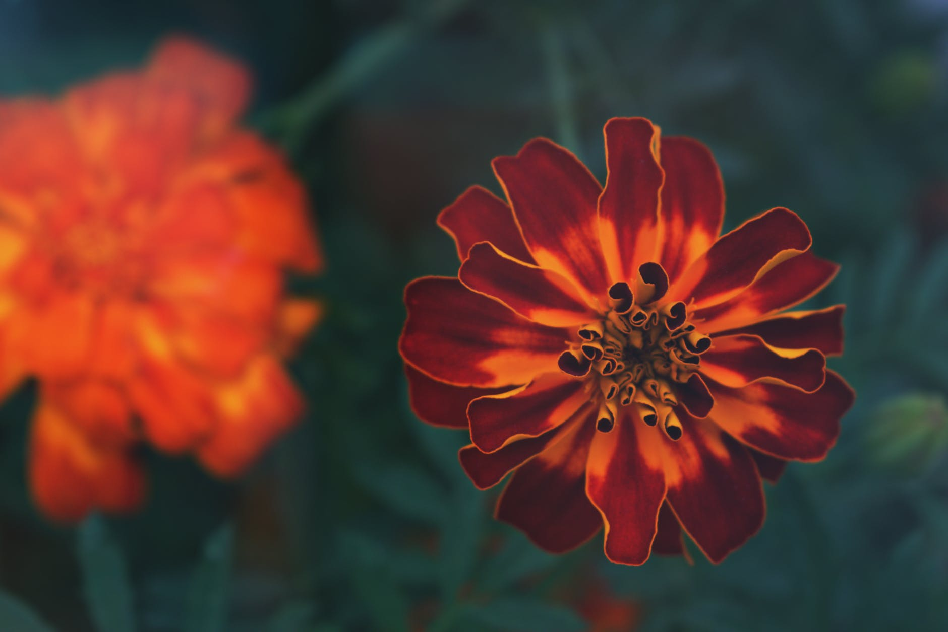 French Marigold |63 Amazing Pest And Insect Repellent For Plants You Should Know