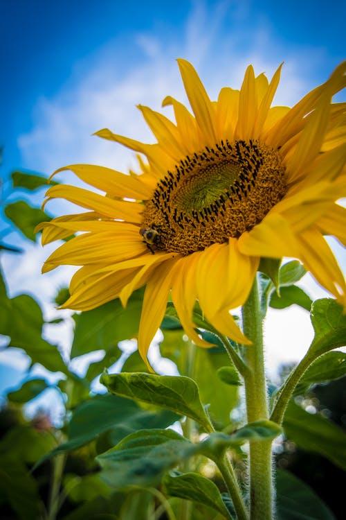 Gratis lagerfoto af bi, himmel, plante, solsikke