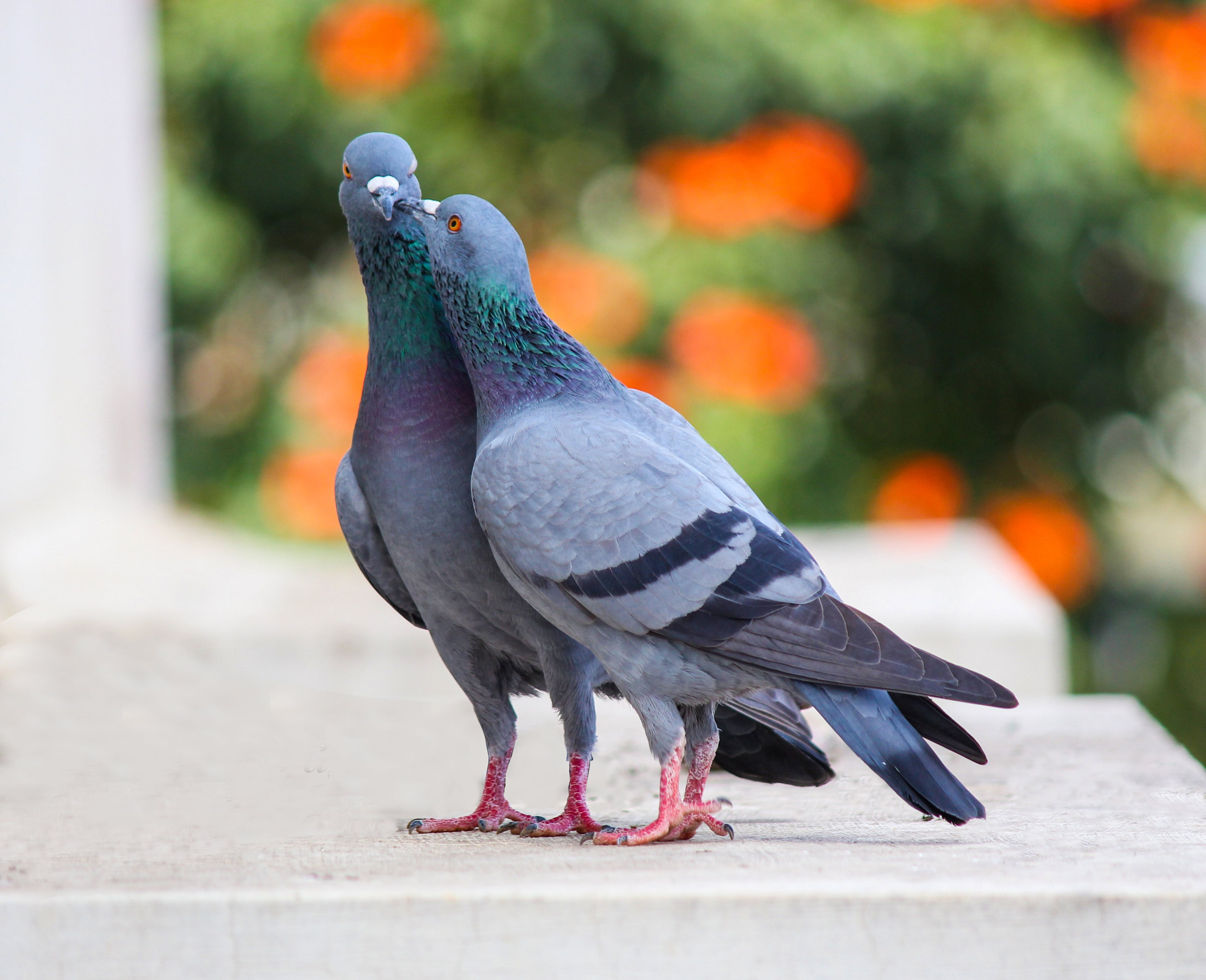 Photo of Two Pigeons