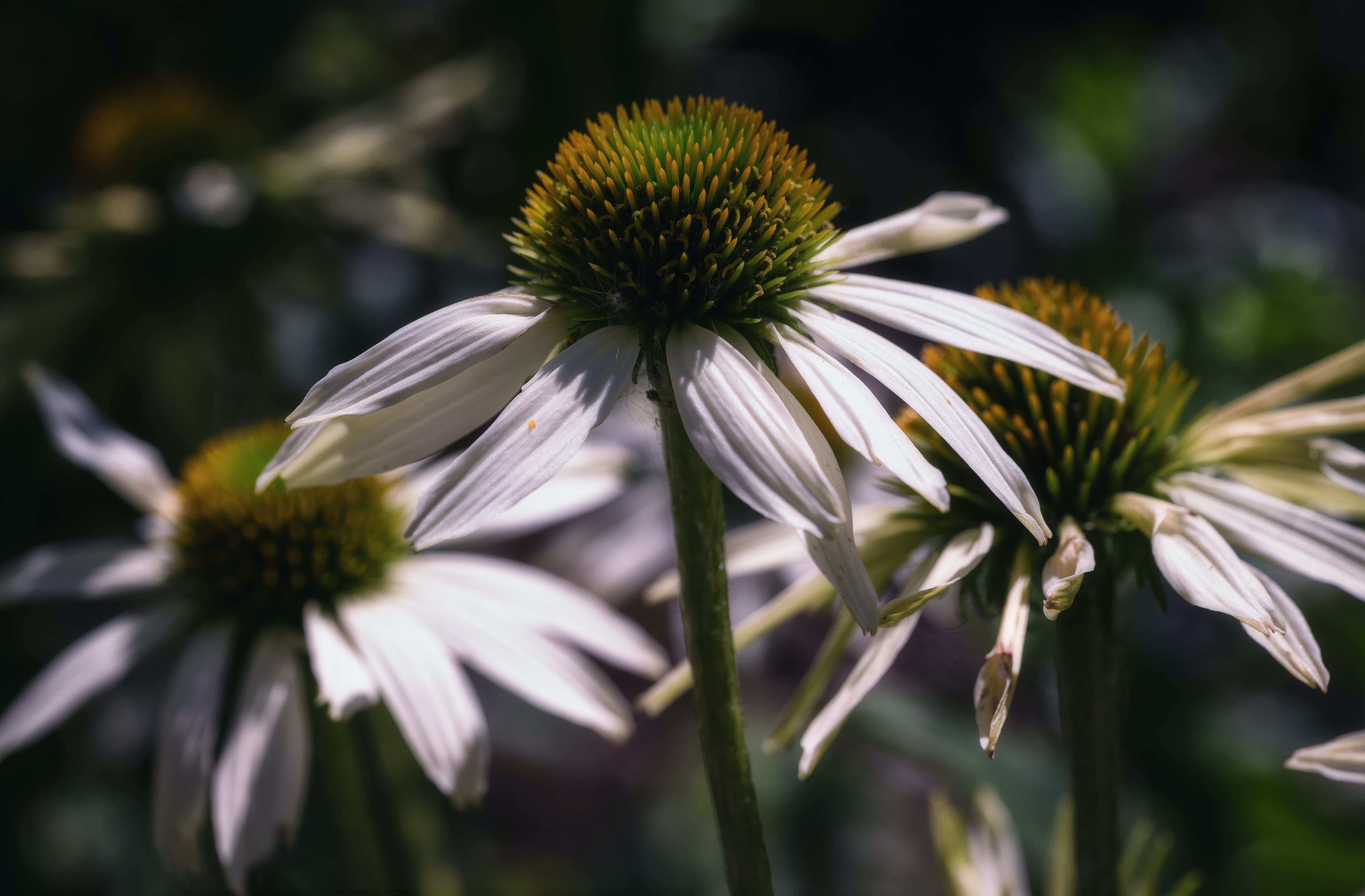 Ingyenes stockfotó fehér petúnia, fehér virág, friss virágok, gyufa feje témában