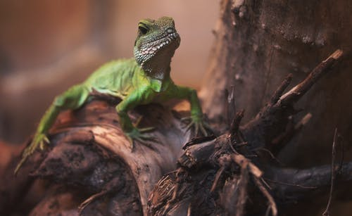 Shallow Focus Photography Of Green Bearded Dragon