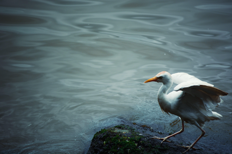 White Bird on Black Stone Near Body of Water