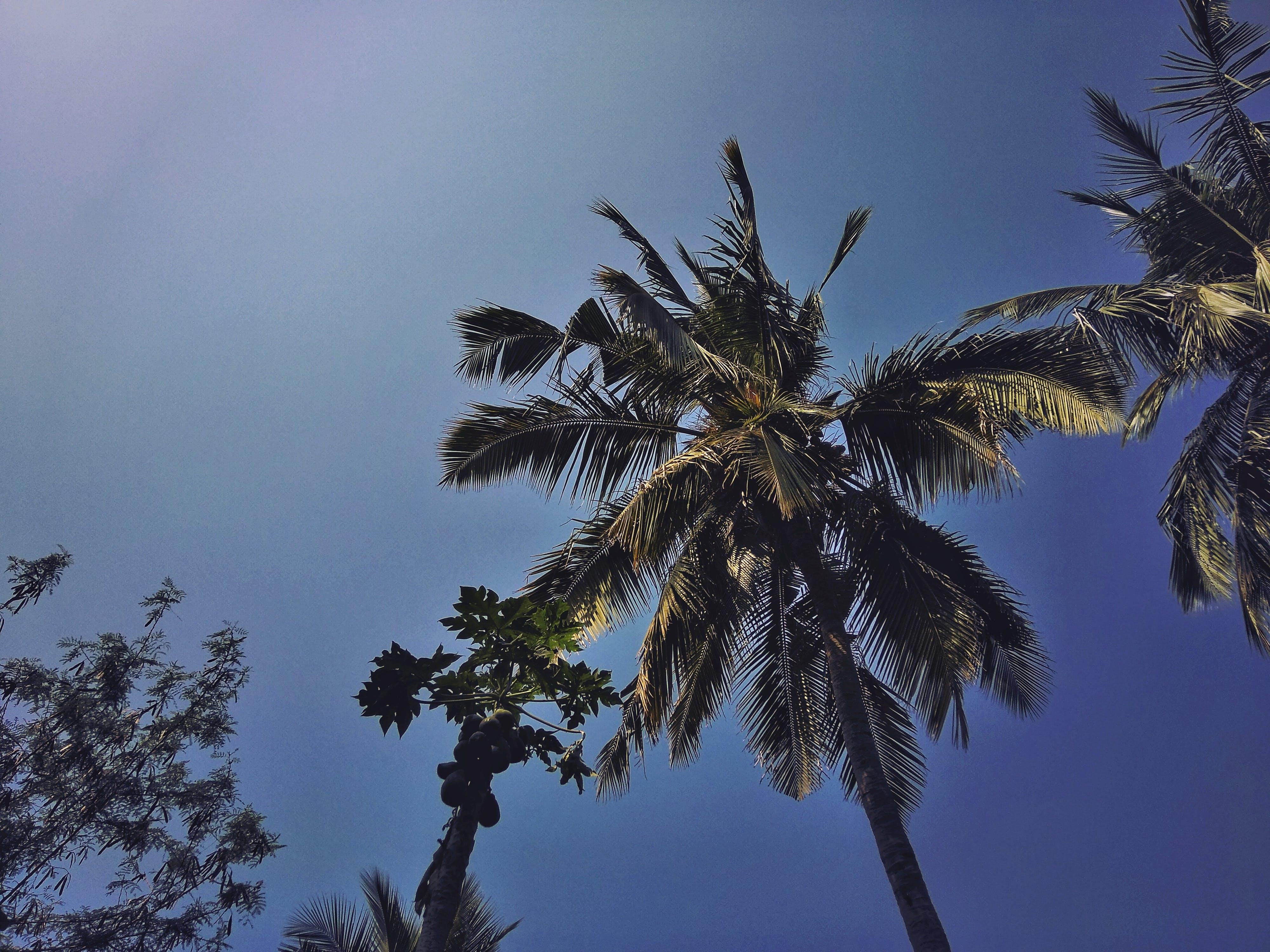 Green Coconut and Papaya Trees Under Blue Sky