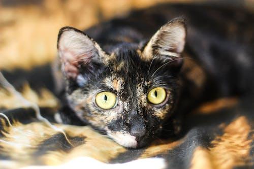 Ingyenes stockfotó állat, gato, házi kedvenc, macska témában
