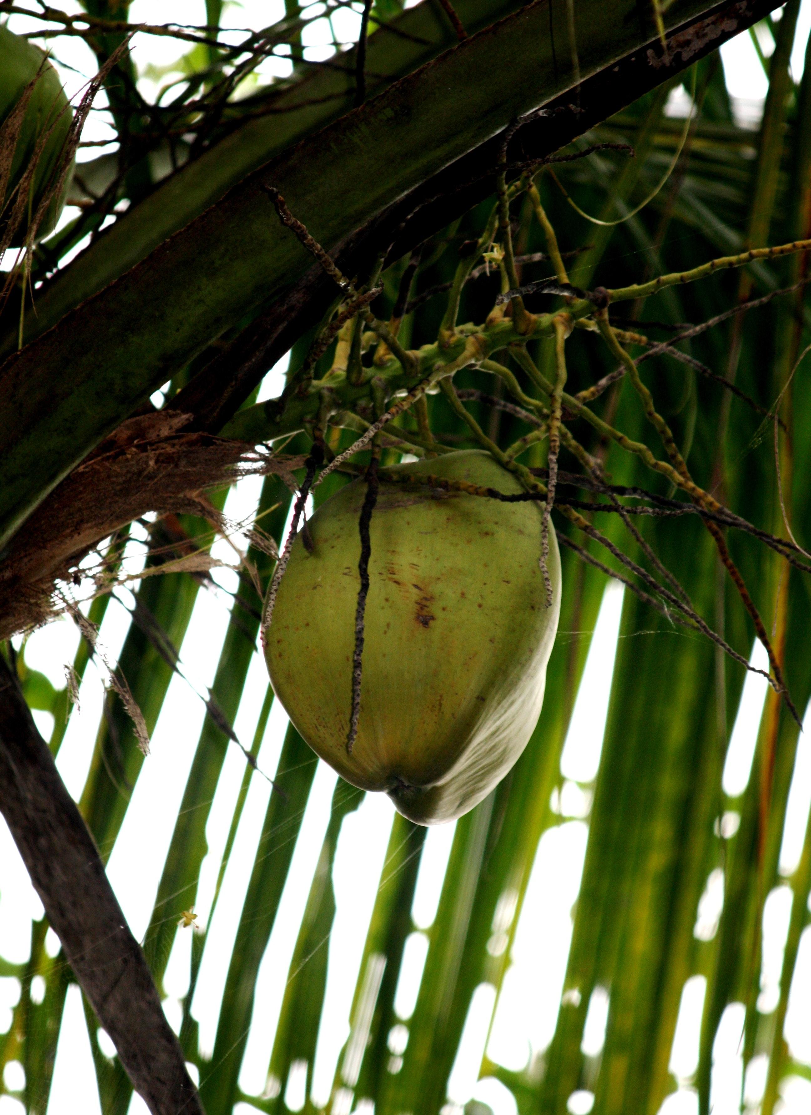 gambar buah kelapa downloadjpg