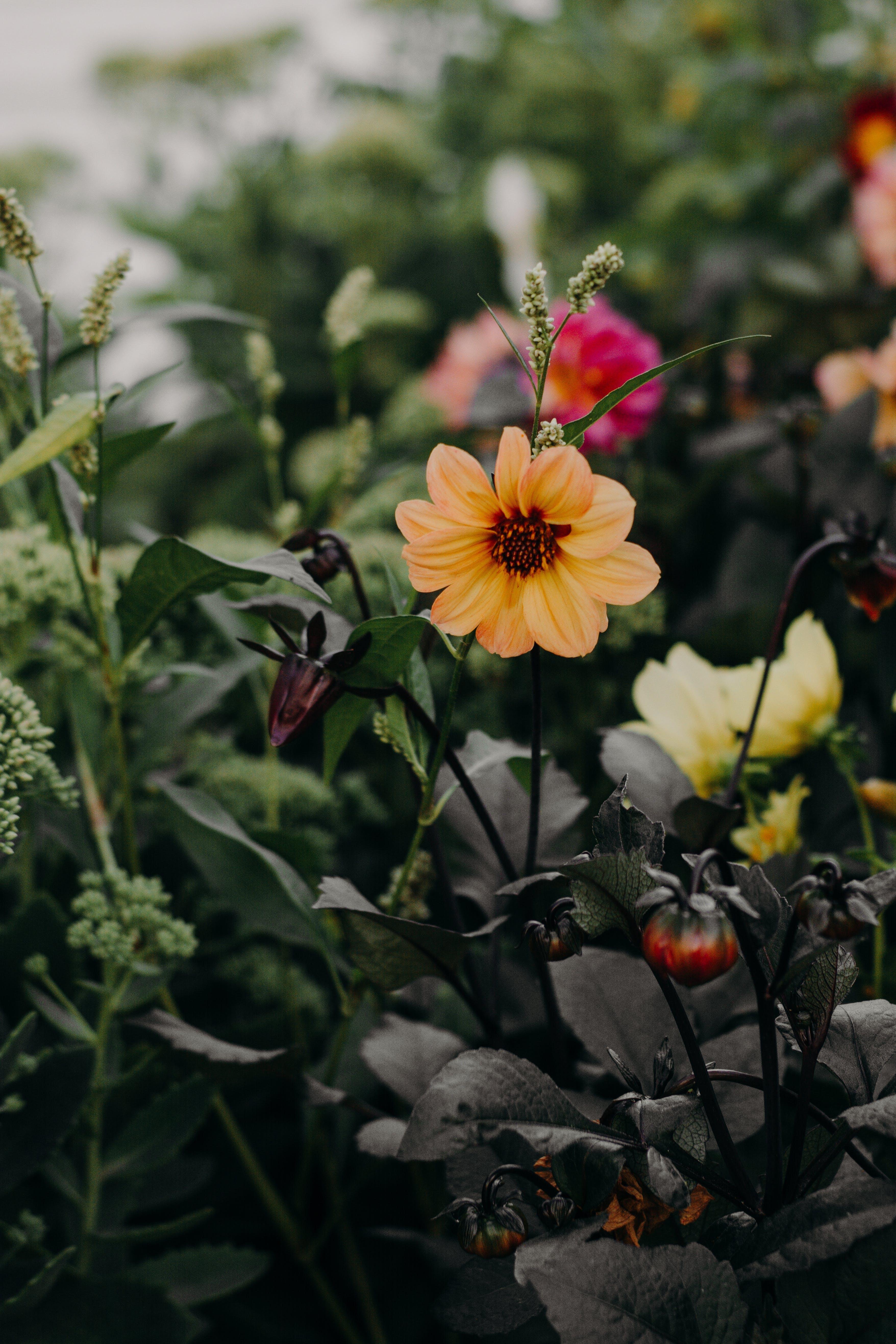 Selective Focus Photo of Orange Dahlia Flower