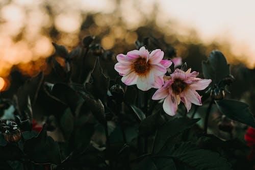 Ingyenes stockfotó botanikus, dália, este, évszak témában