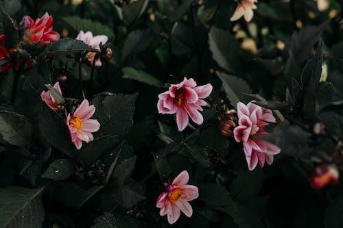 Close-up Photo of Pink Dahlia Flowers