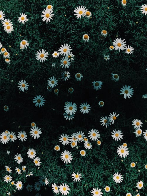 250 Amazing Daisy Photos Pexels Free Stock Photos
