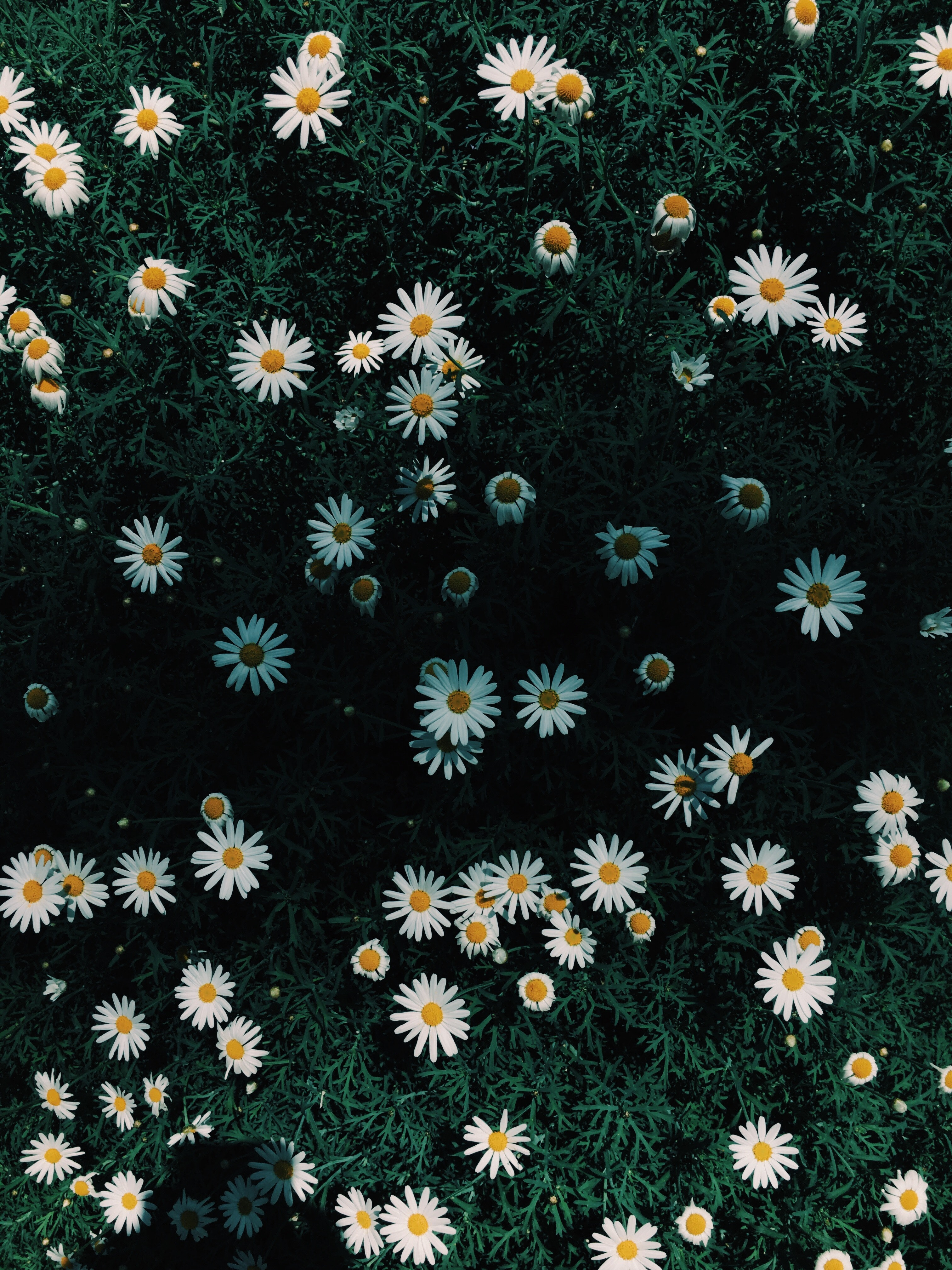 200 amazing daisy photos pexels free stock photos fetching more photos izmirmasajfo