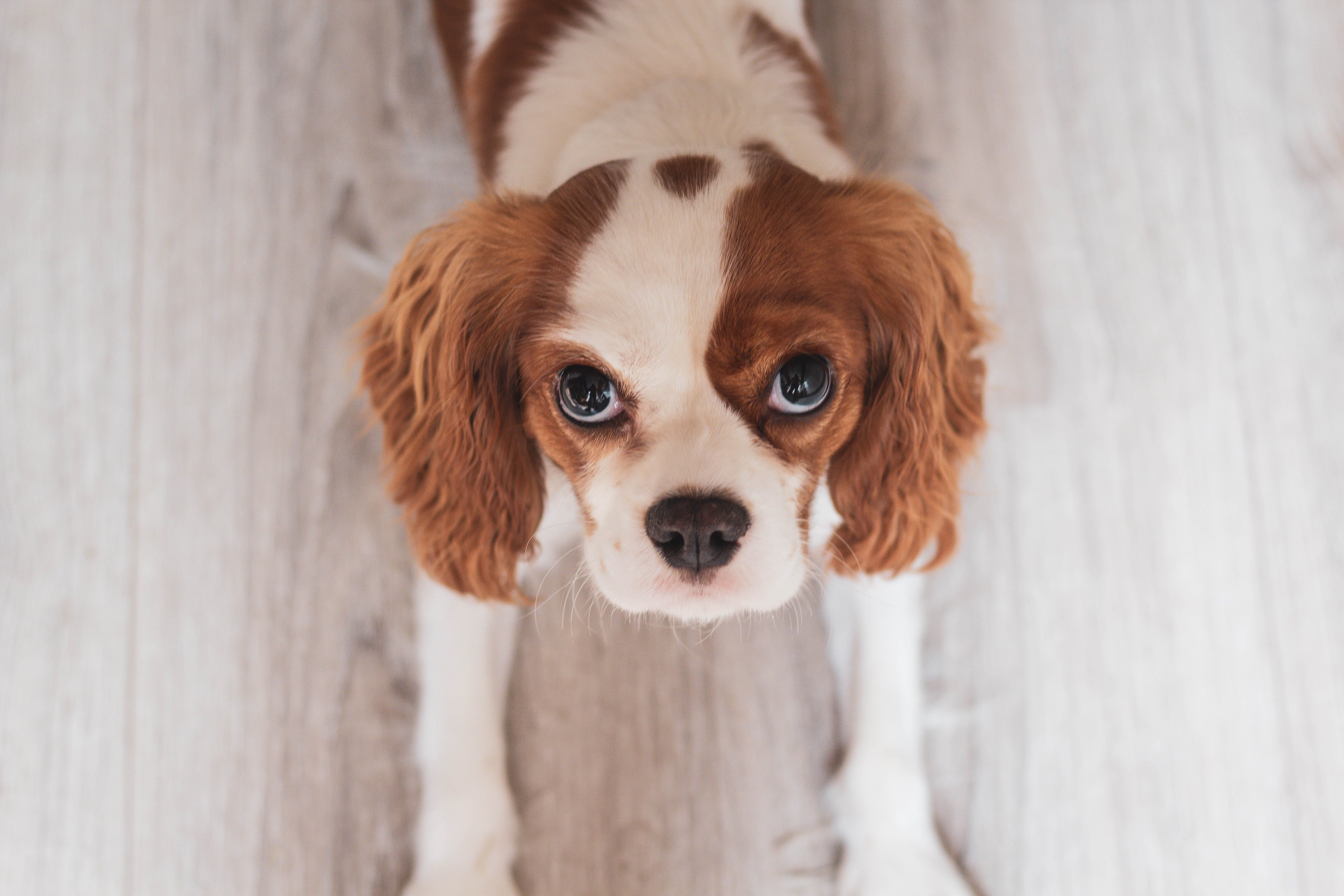 White and Red Cavalier King Charles Spaniel Puppy Close-up Photo