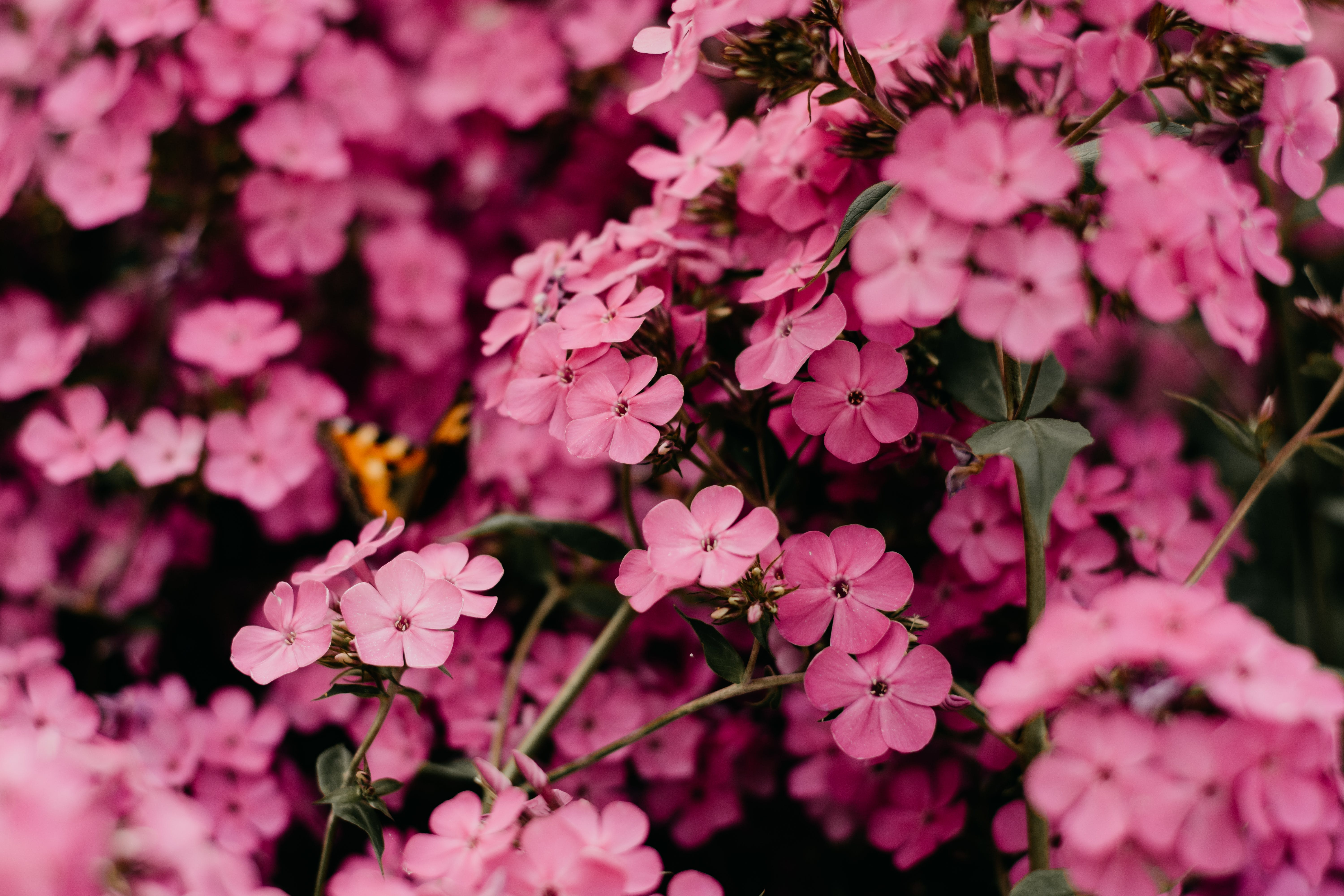 Selective Focus Photography of Pink Flowers