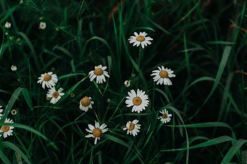 Fotobanka sbezplatnými fotkami na tému 4k tapety, detailný záber, flóra, harmanček
