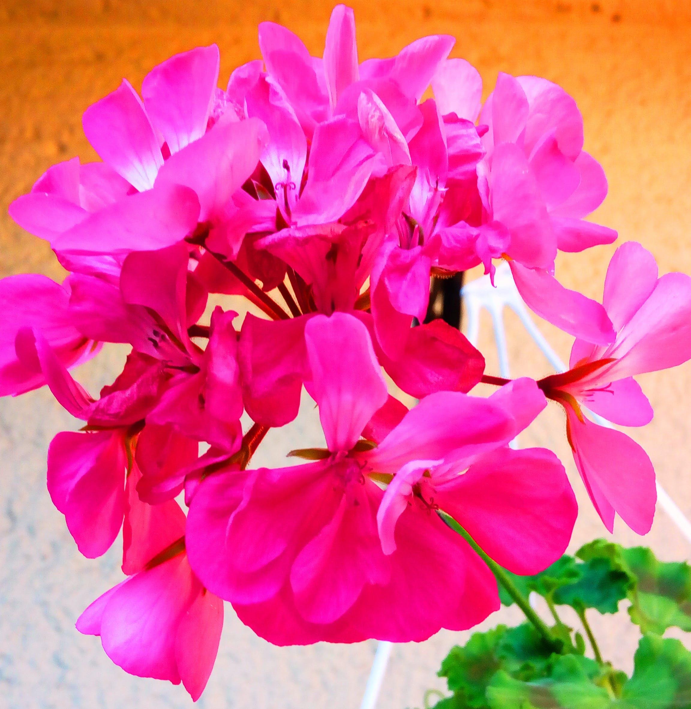 Free stock photo of beautiful flower, decorative plant, flower, flower pot