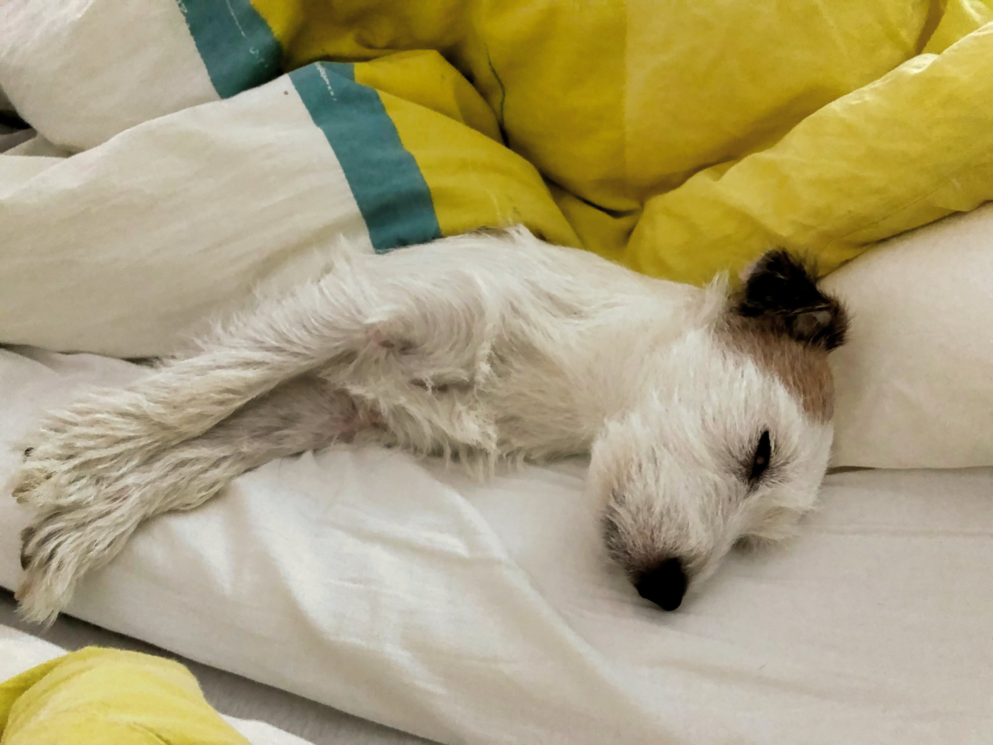 Free stock photo of jack russell, tired dog