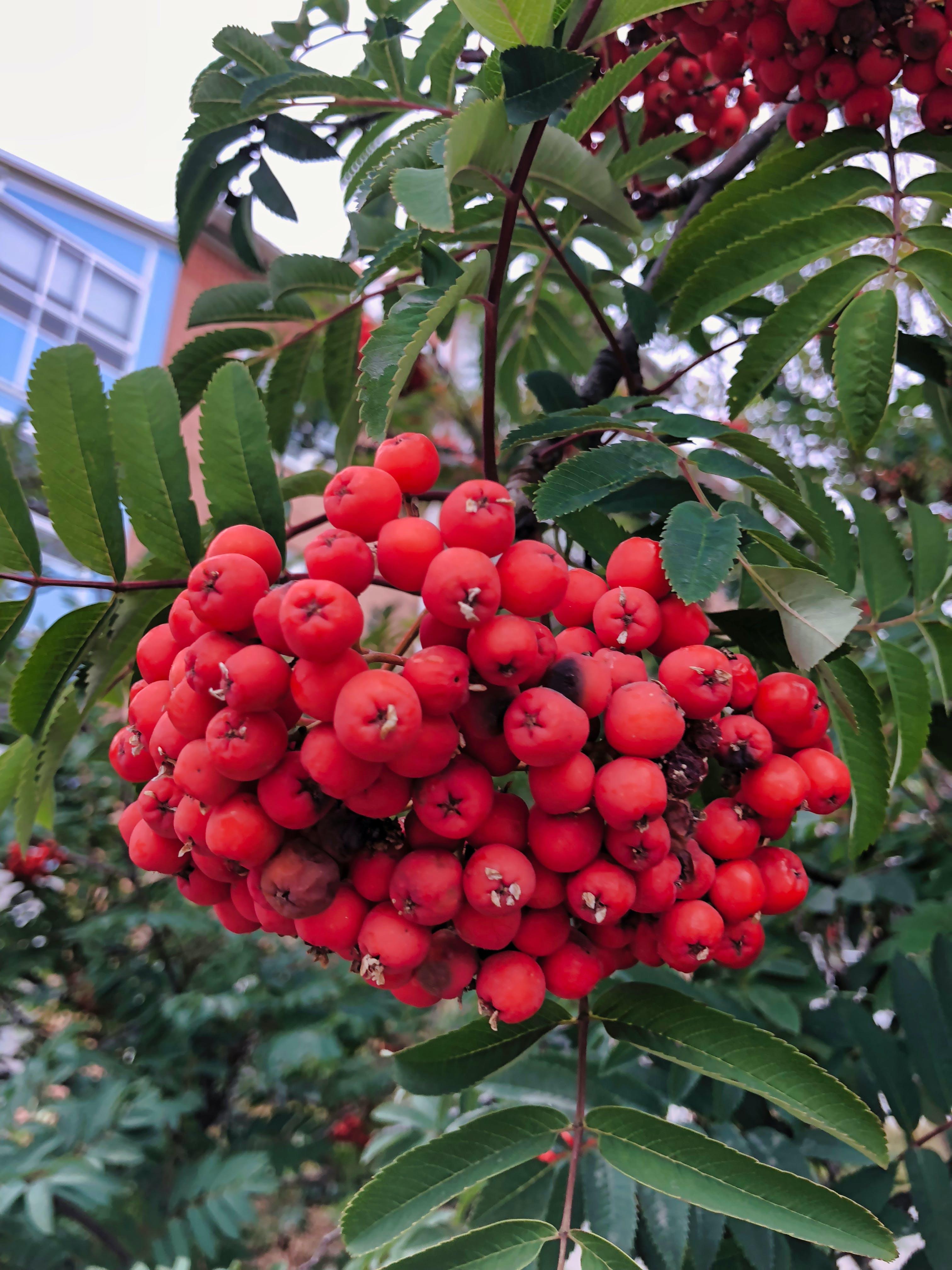 Free stock photo of red, tree, berries