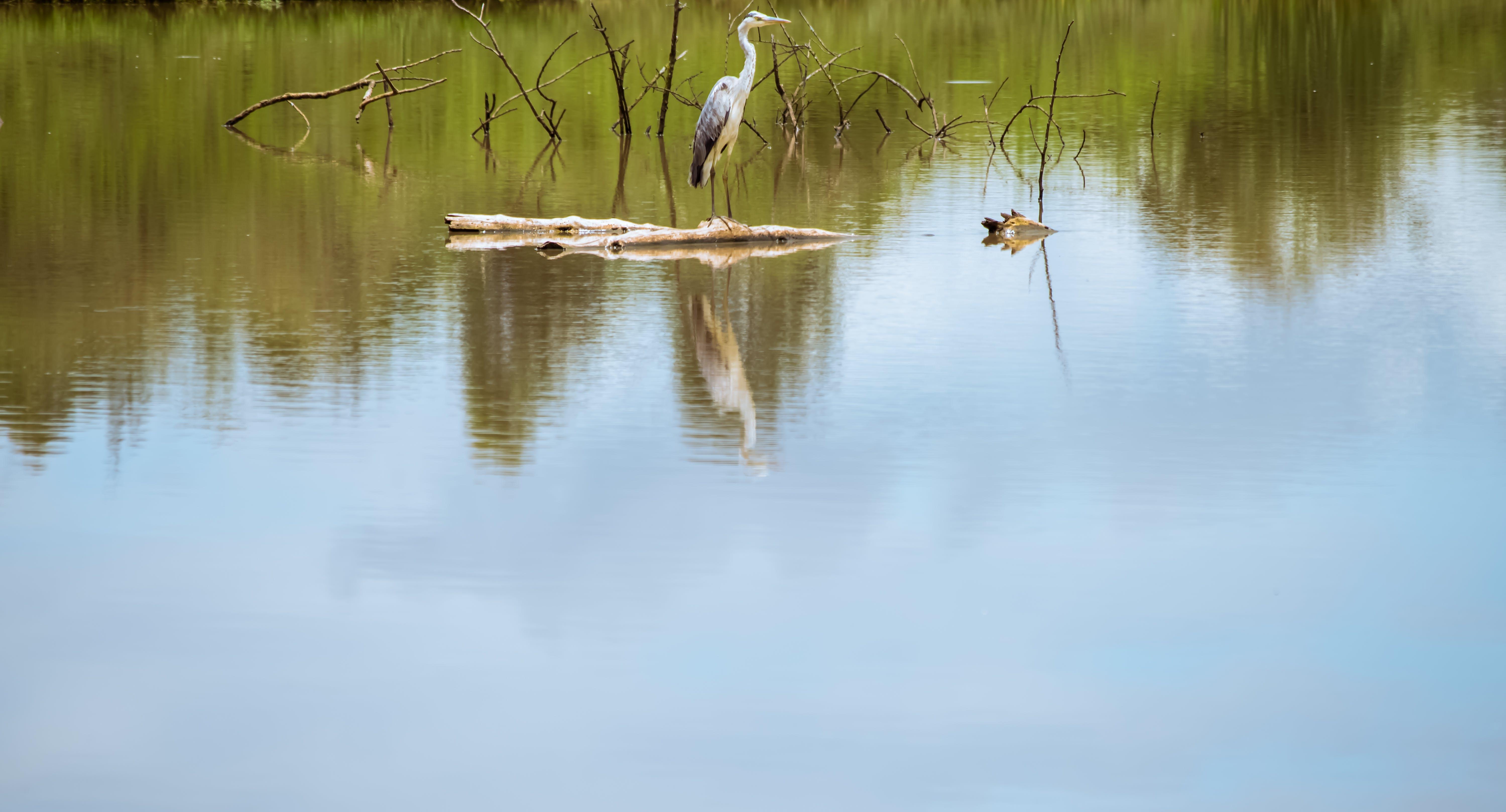 Free stock photo of Blue heron, lake, pond, swamp