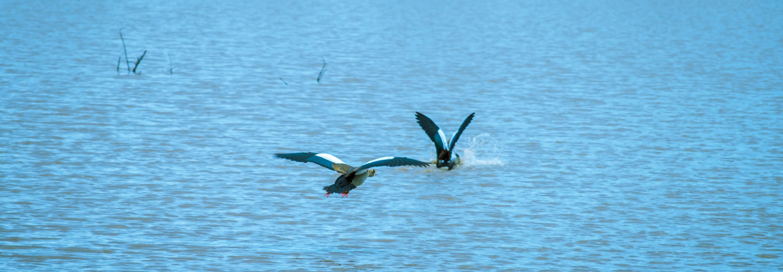 Free stock photo of dive, lake, red ducks, wade