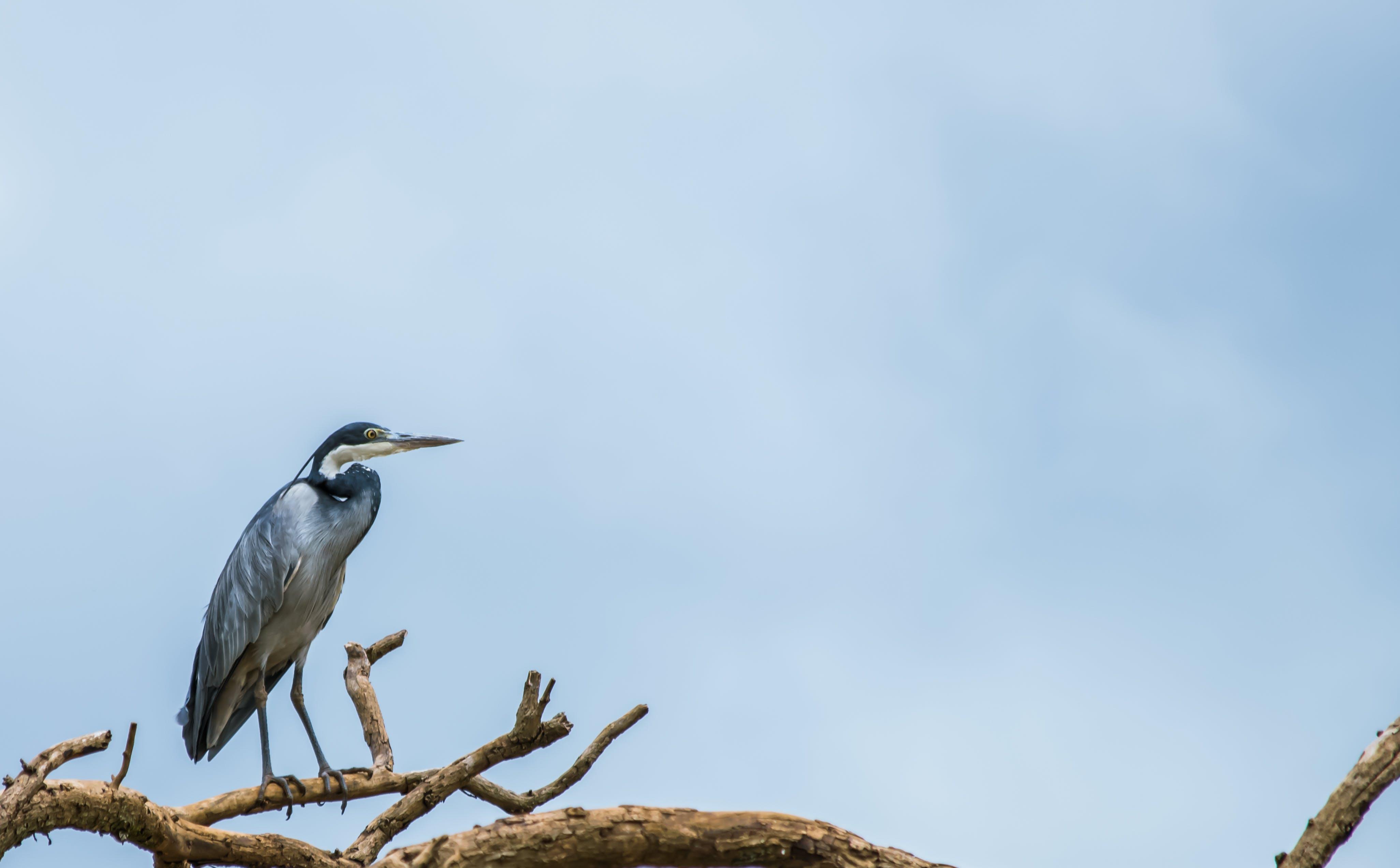 Free stock photo of Blue heron