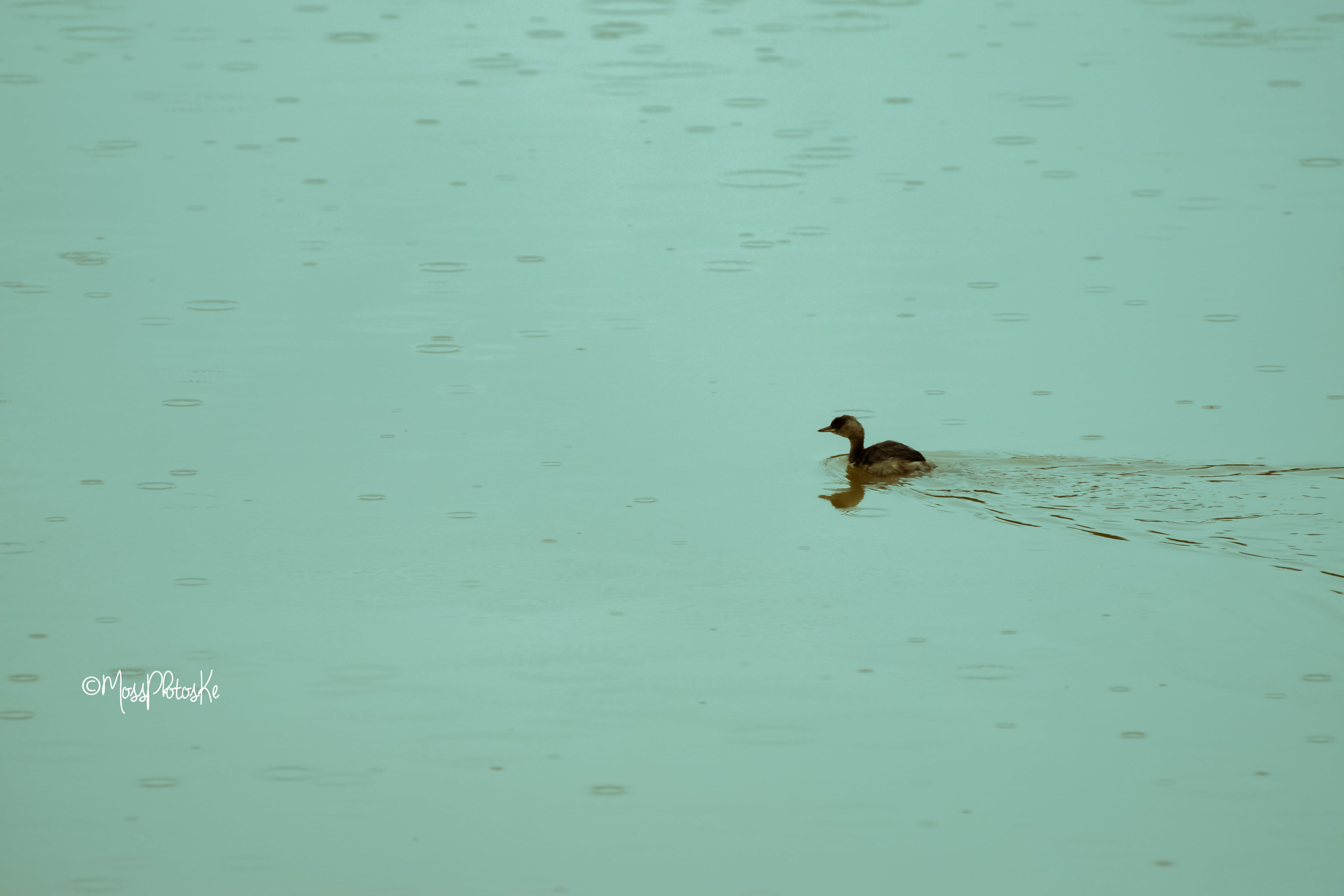 Free stock photo of chick, lake, red duck