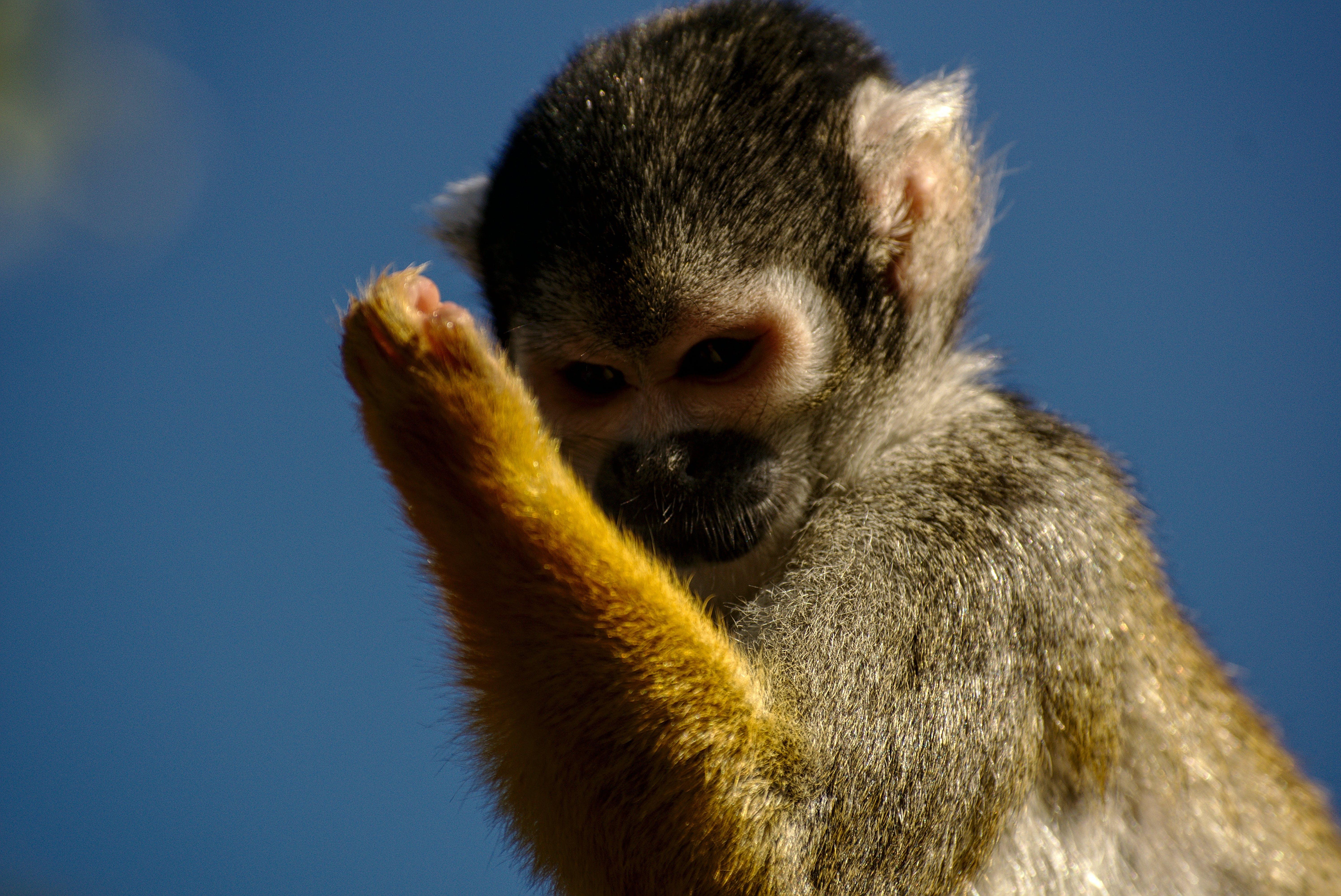 Free stock photo of monkey, thumbs up