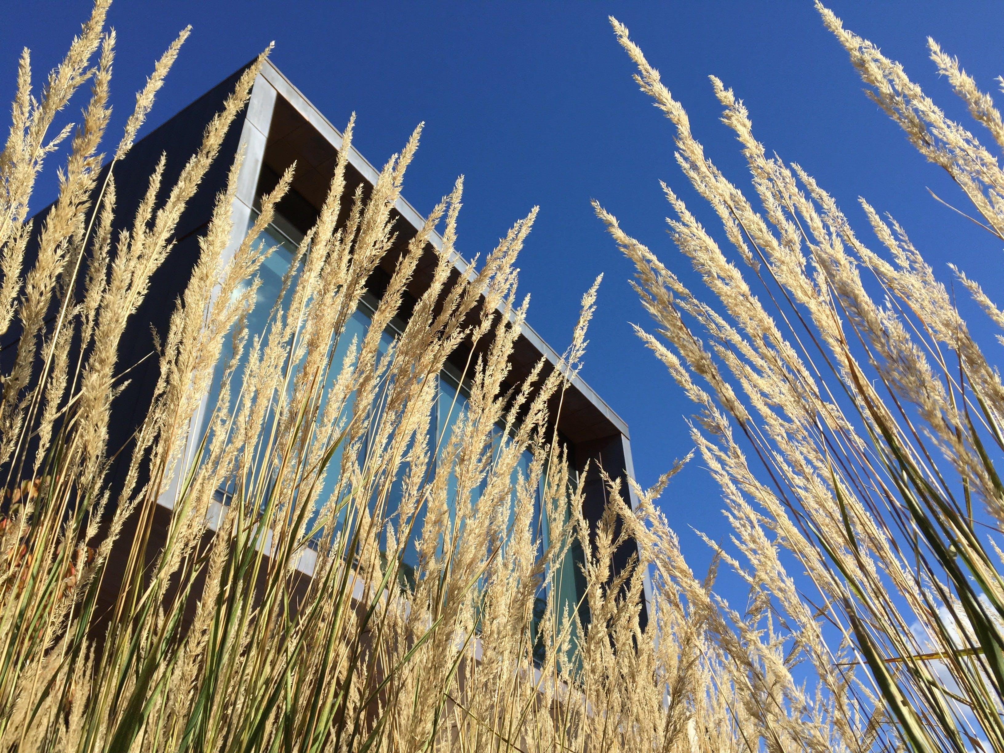 Rice Grain Plant