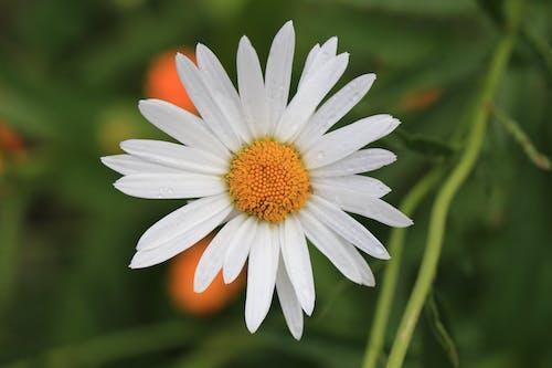 Безкоштовне стокове фото на тему «bellissimi fiori, bianca, fiore, giallo»