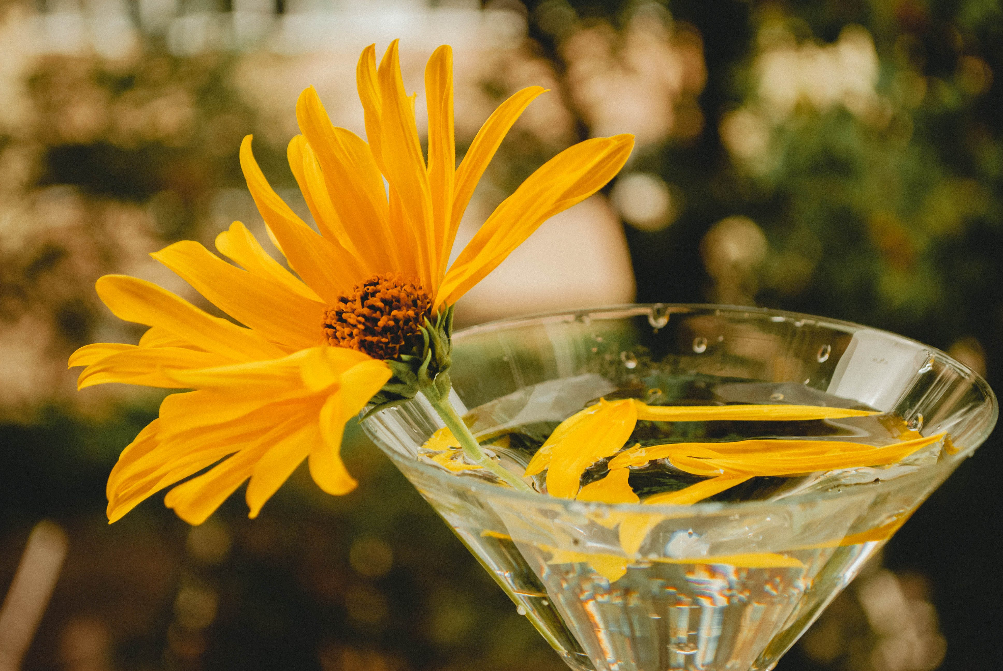 Selective Focus Photo of Yellow Singapore Daisy Flower on Clear Martini Glass