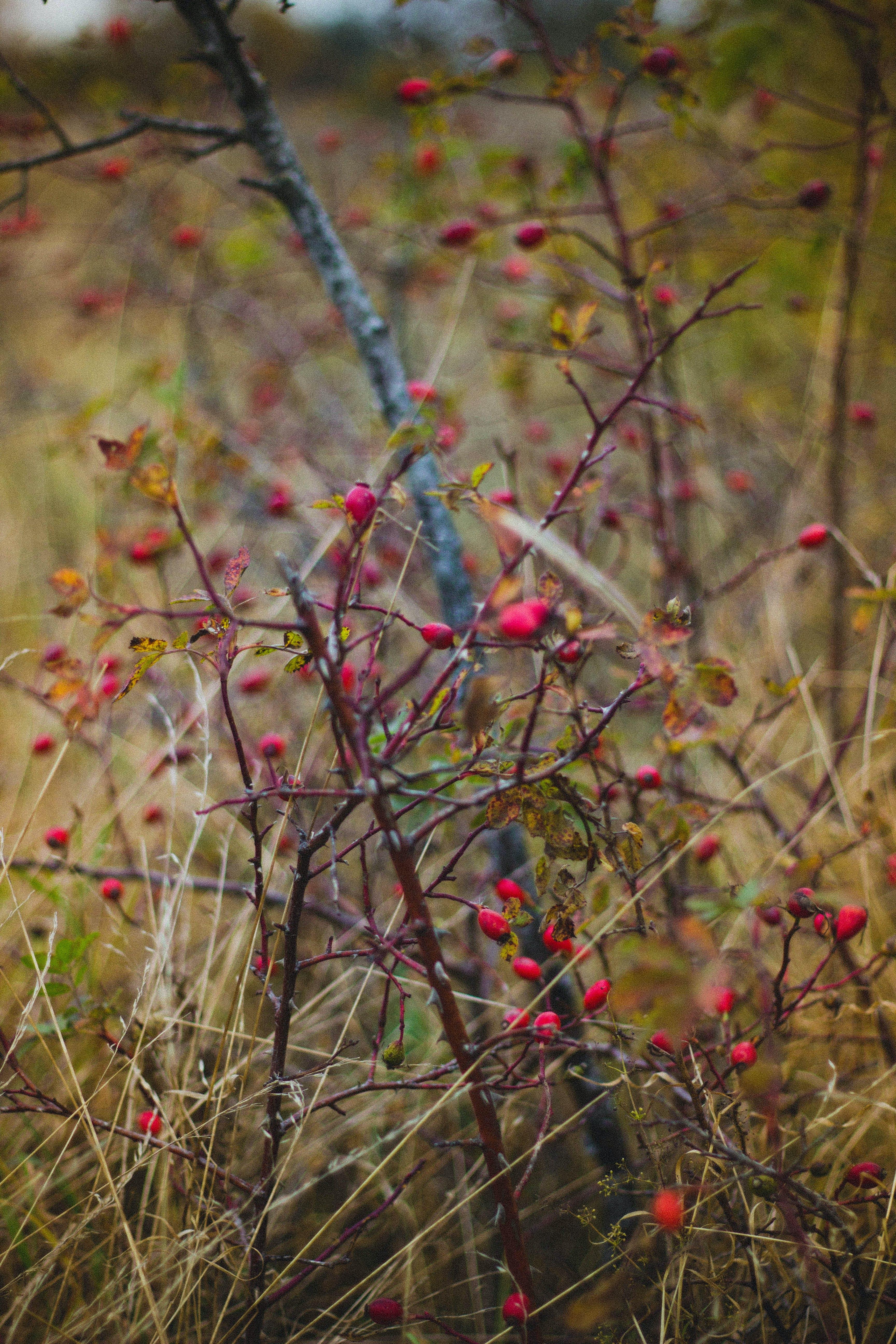 Fotos de stock gratuitas de arbusto, baya, planta, profundidad de campo