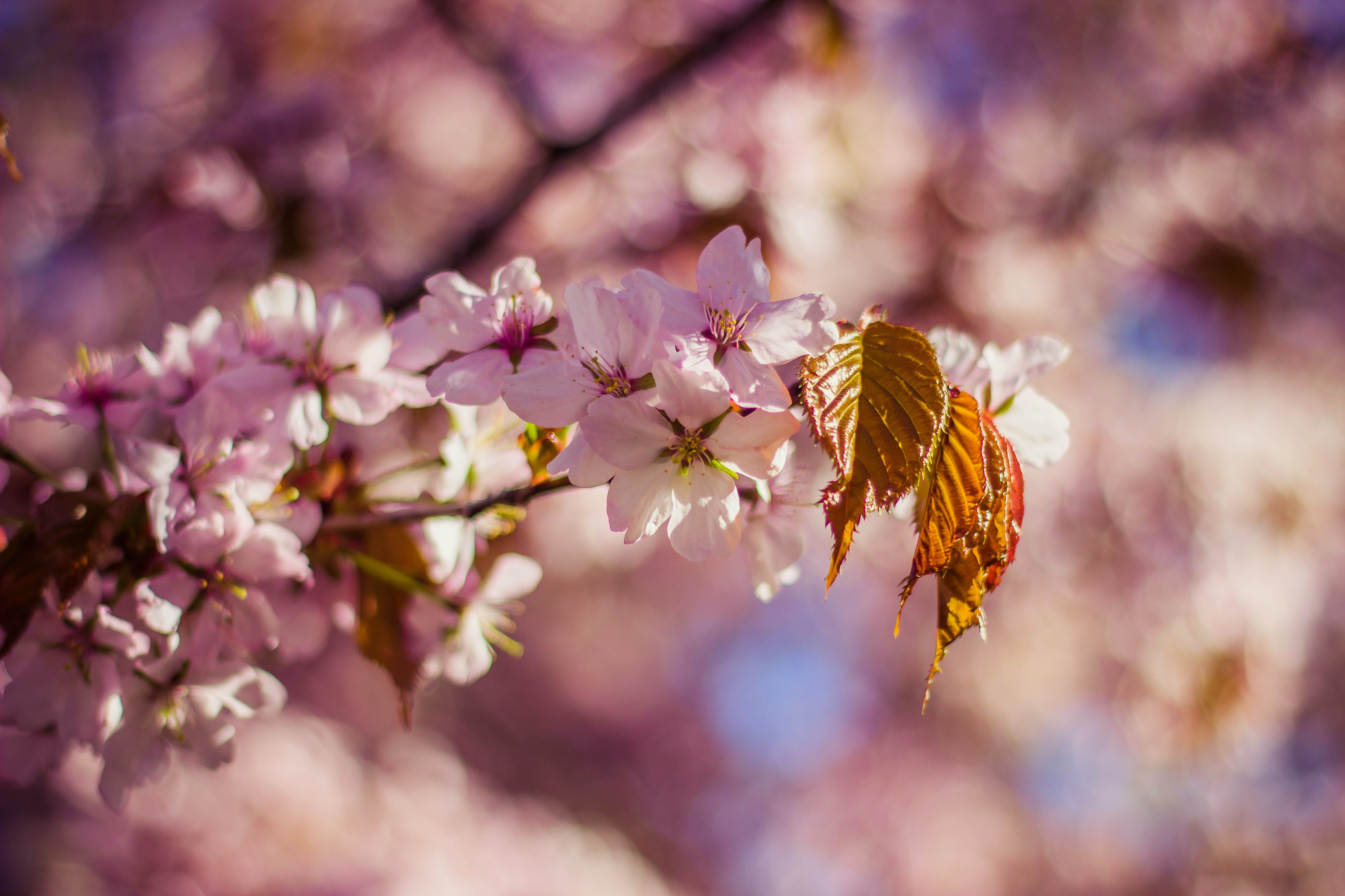blooming, blossoms, depth of field