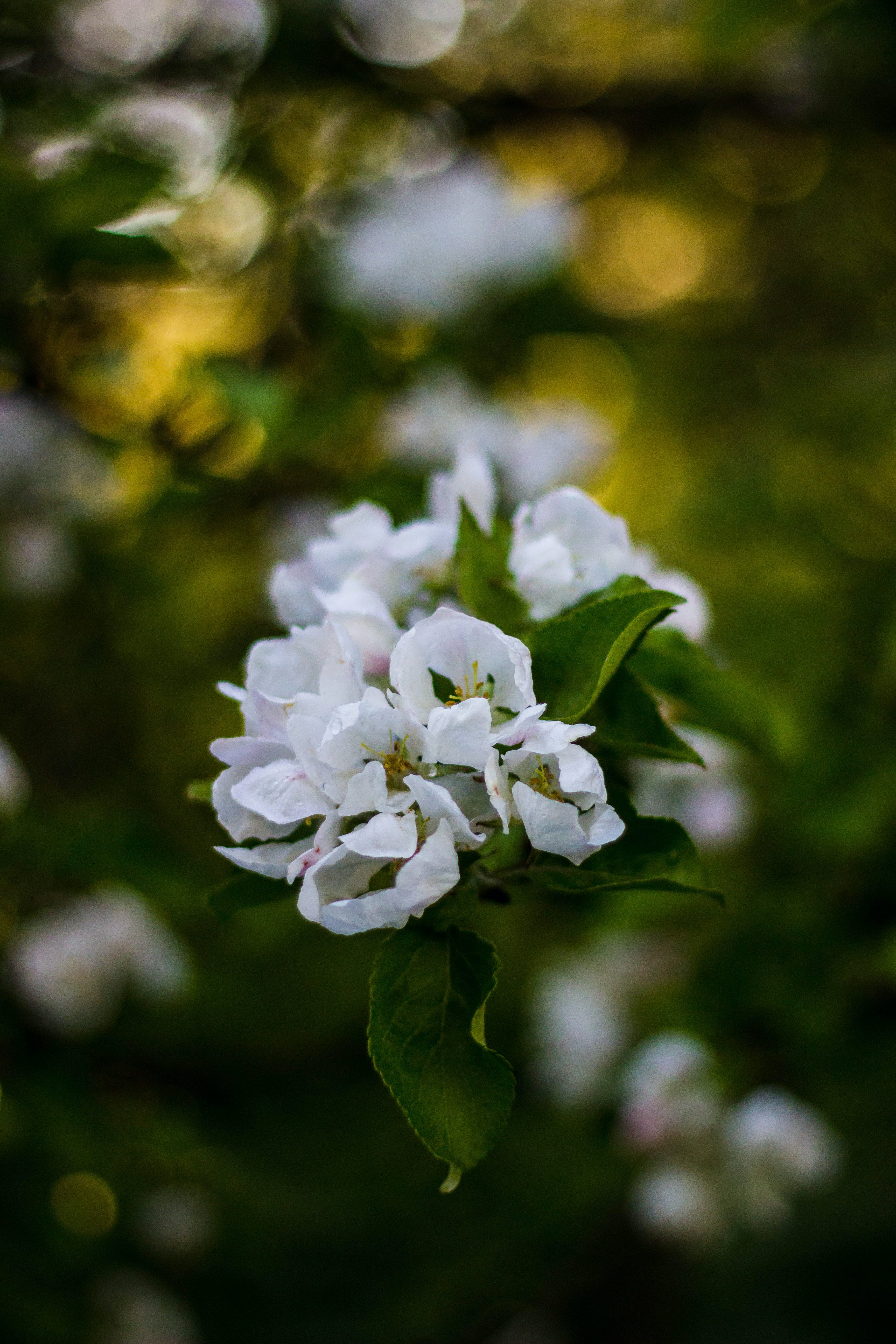 Free stock photo of flowers, leaves, white, flora